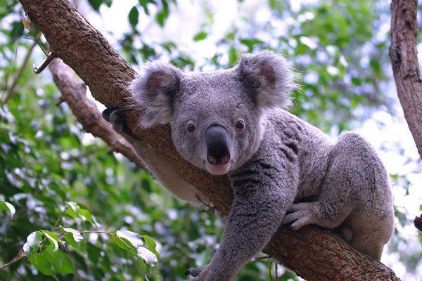 オーストラリアの国獣はカンガル...