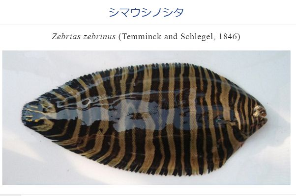 (画像はWEB魚図鑑のスクリーンショット)