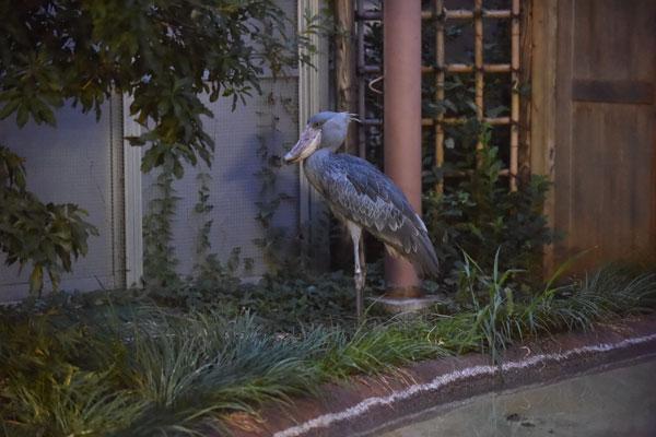 夜も動かない鳥ハシビロコウ(上野)