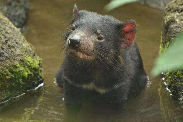 6月に多摩動物公園に来園したタスマニアデビル